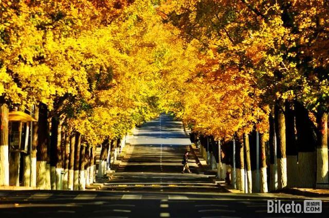 秋天的八大关是最令人神往的地方,嘉峪关的梧桐,居庸关的银杏,宁武关