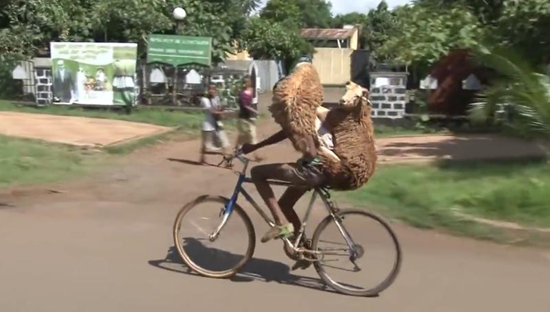 《美骑快讯》能拉游艇能载羊 自行车就这么能装