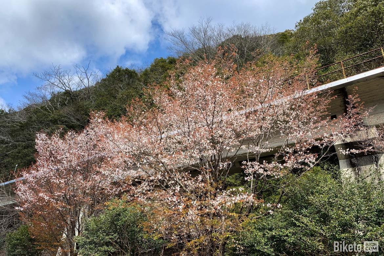 骑行,日本,樱花,四国