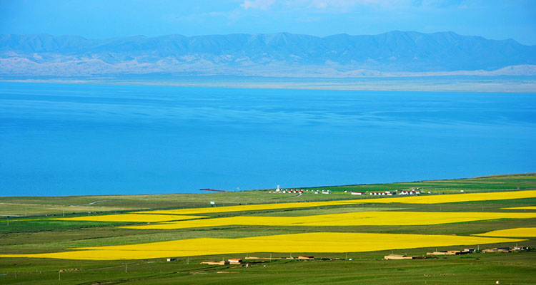 青海湖的油菜花