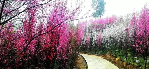 桃花树林的简笔画步骤