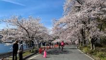 【小药水骑行日记】平成最后的樱花季