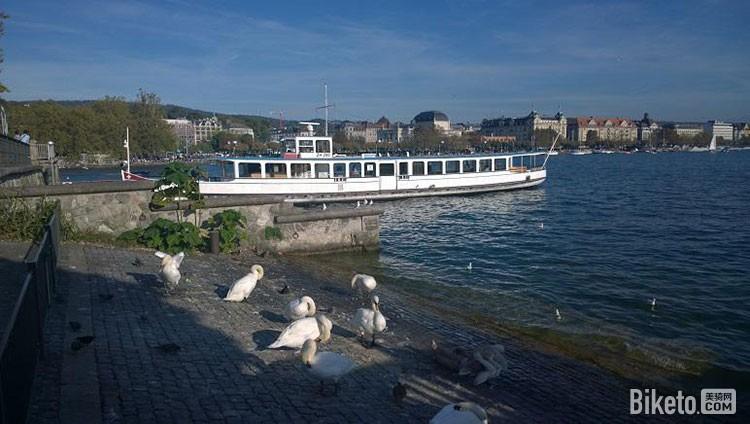 湖边晒太阳的天鹅