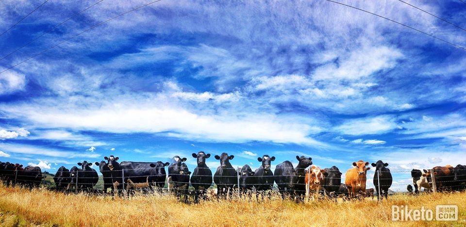 骑行新西兰――牛星人的世界.jpg